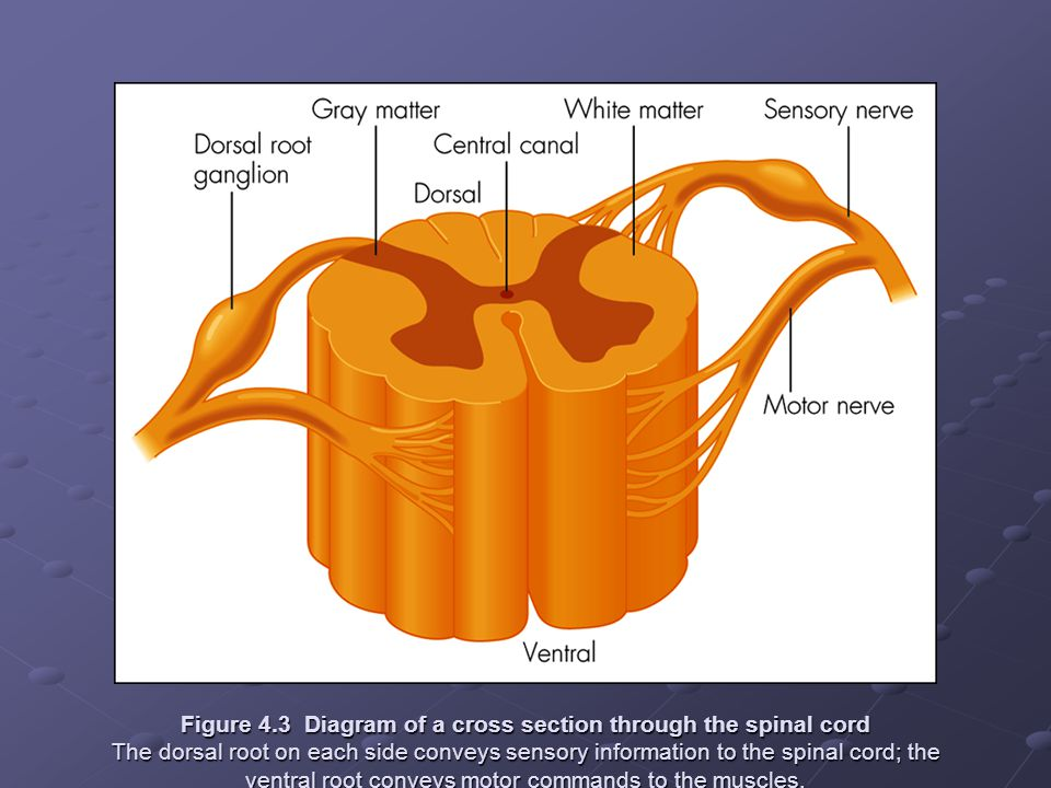 Figure 4.3 Diagram of a cross section through the spinal cord The dorsal root on each side conveys sensory information to the spinal cord; the ventral root conveys motor commands to the muscles.