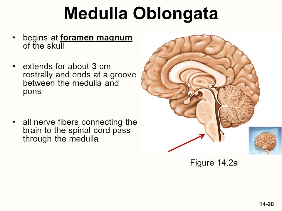 Medulla Oblongata begins at foramen magnum of the skull