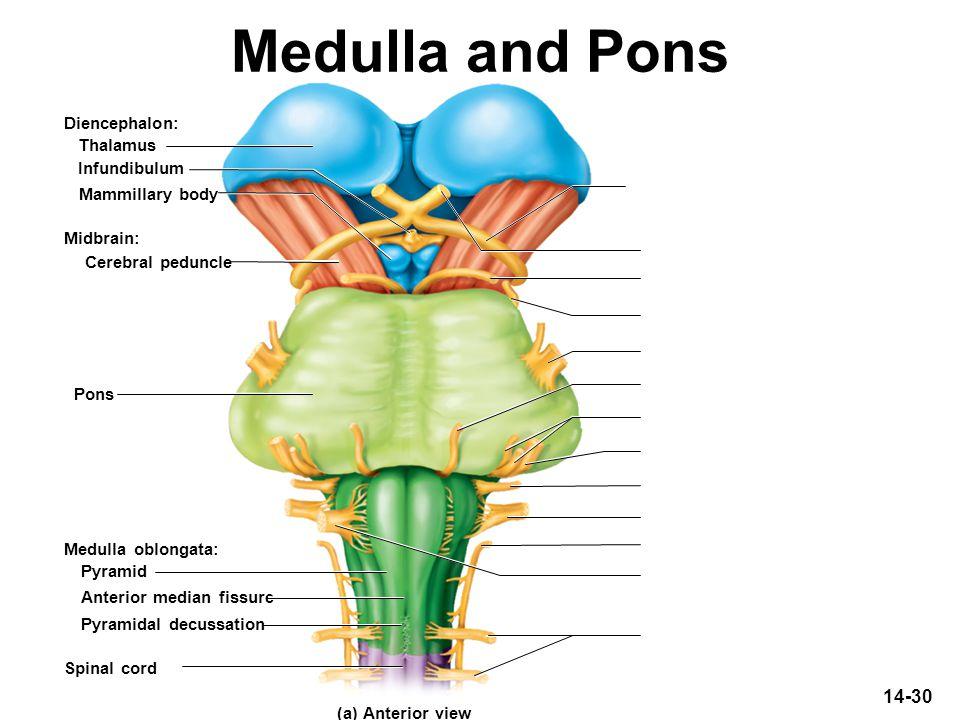 Medulla and Pons Diencephalon: Thalamus Infundibulum Mammillary body