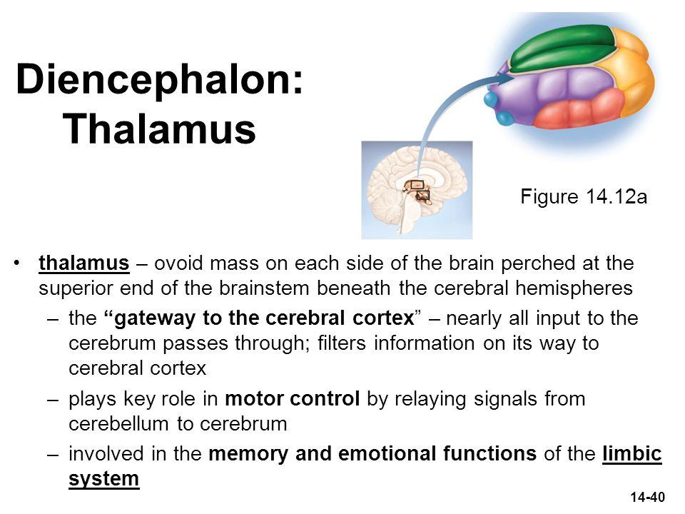 Diencephalon: Thalamus