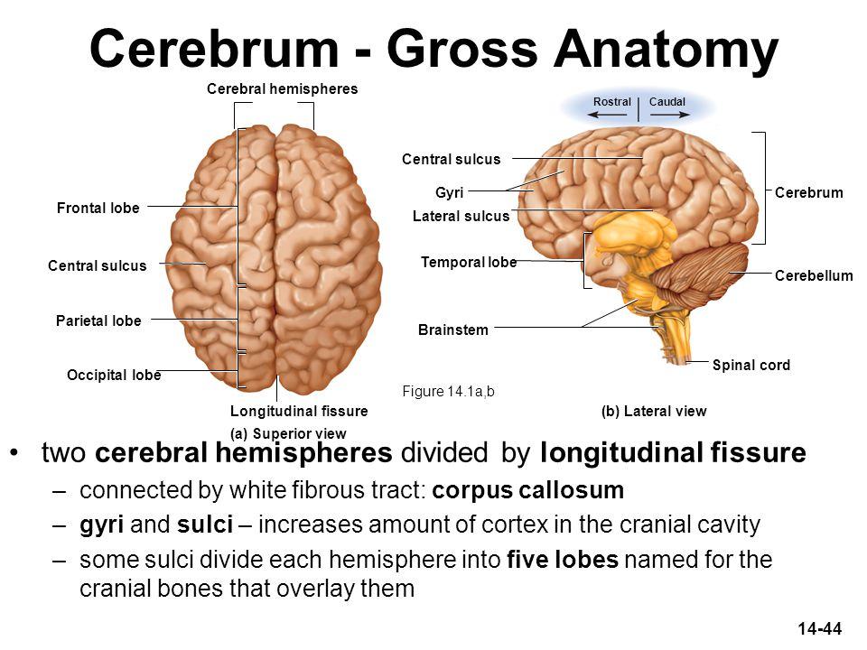 Cerebrum - Gross Anatomy