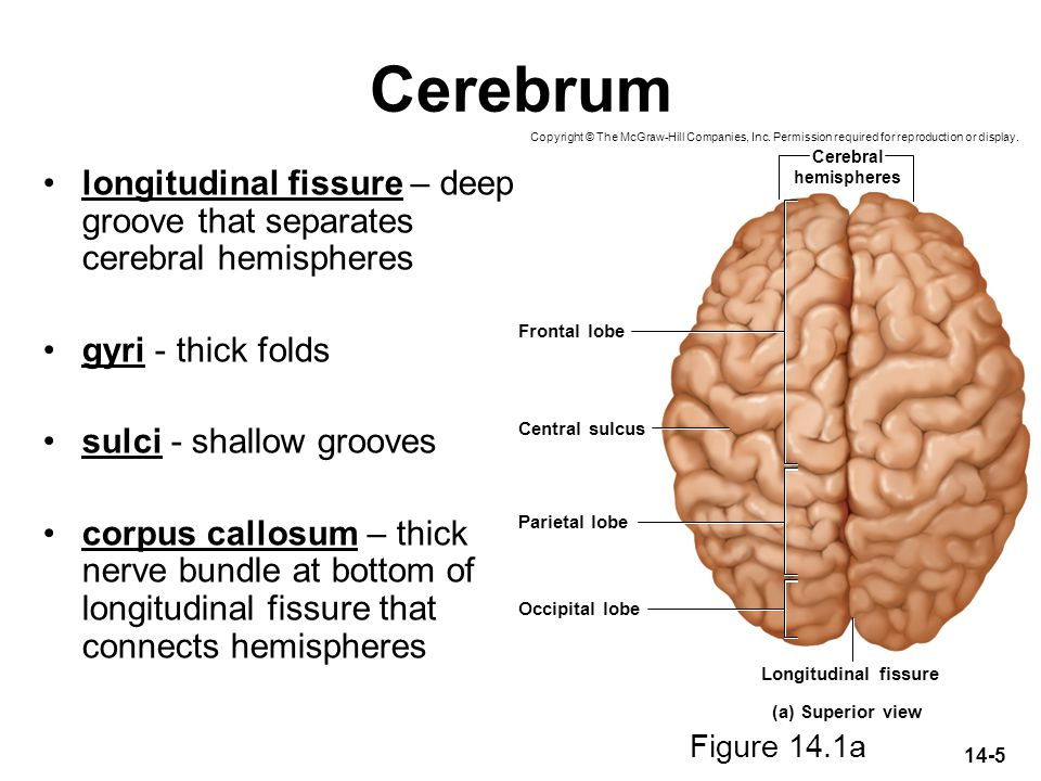 Cerebrum Copyright © The McGraw-Hill Companies, Inc. Permission required for reproduction or display.