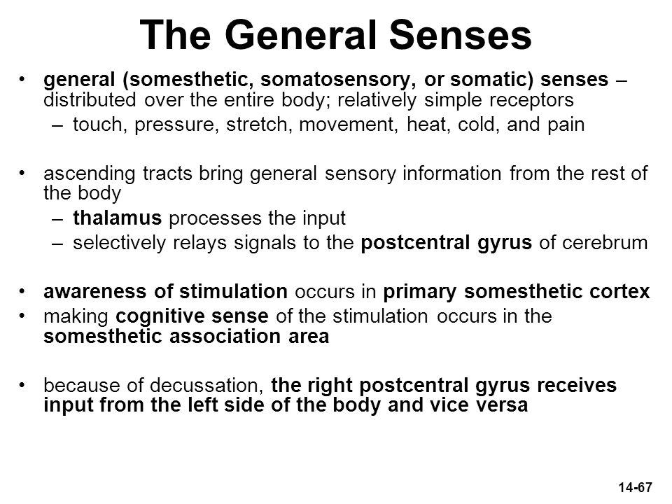 The General Senses general (somesthetic, somatosensory, or somatic) senses – distributed over the entire body; relatively simple receptors.