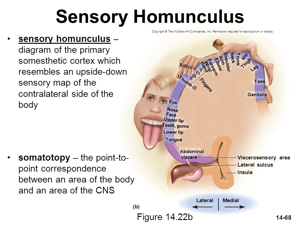 Sensory Homunculus Copyright © The McGraw-Hill Companies, Inc. Permission required for reproduction or display.