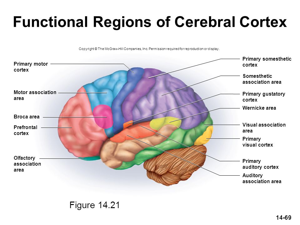 Functional Regions of Cerebral Cortex