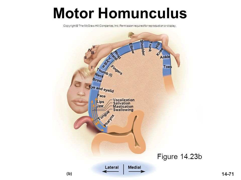 Motor Homunculus Figure 14.23b Lateral Medial (b) V Trunk Hip Elbow