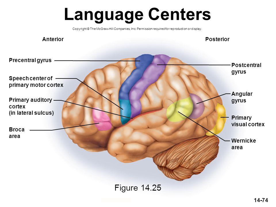 Language Centers Figure 14.25 Anterior Posterior Precentral gyrus