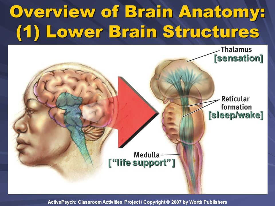 Overview of Brain Anatomy: (1) Lower Brain Structures