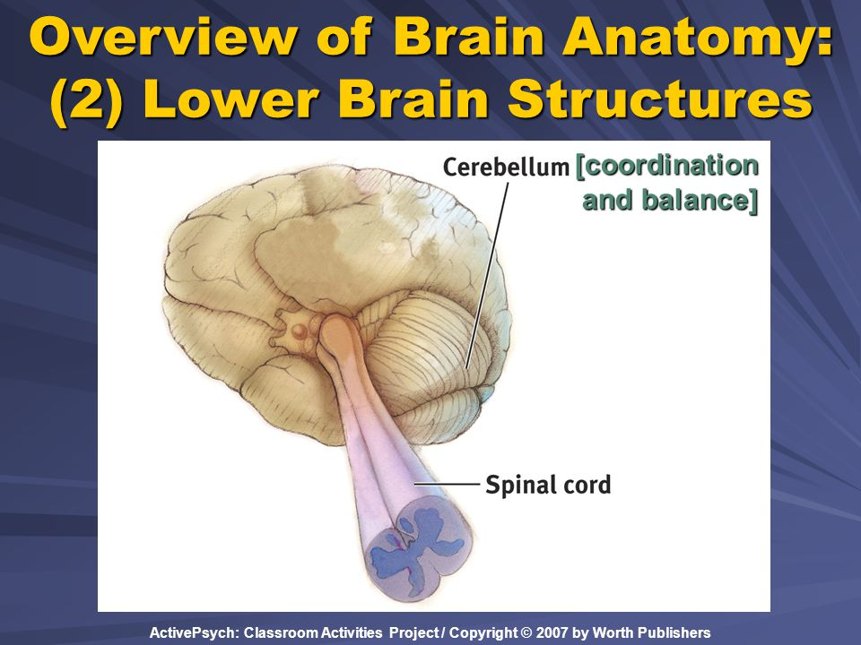 Overview of Brain Anatomy: (2) Lower Brain Structures