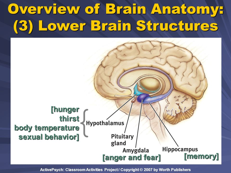 Overview of Brain Anatomy: (3) Lower Brain Structures