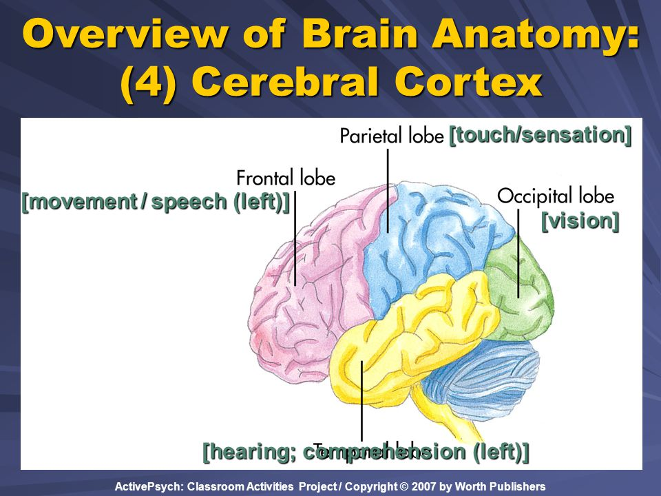 Overview of Brain Anatomy: (4) Cerebral Cortex