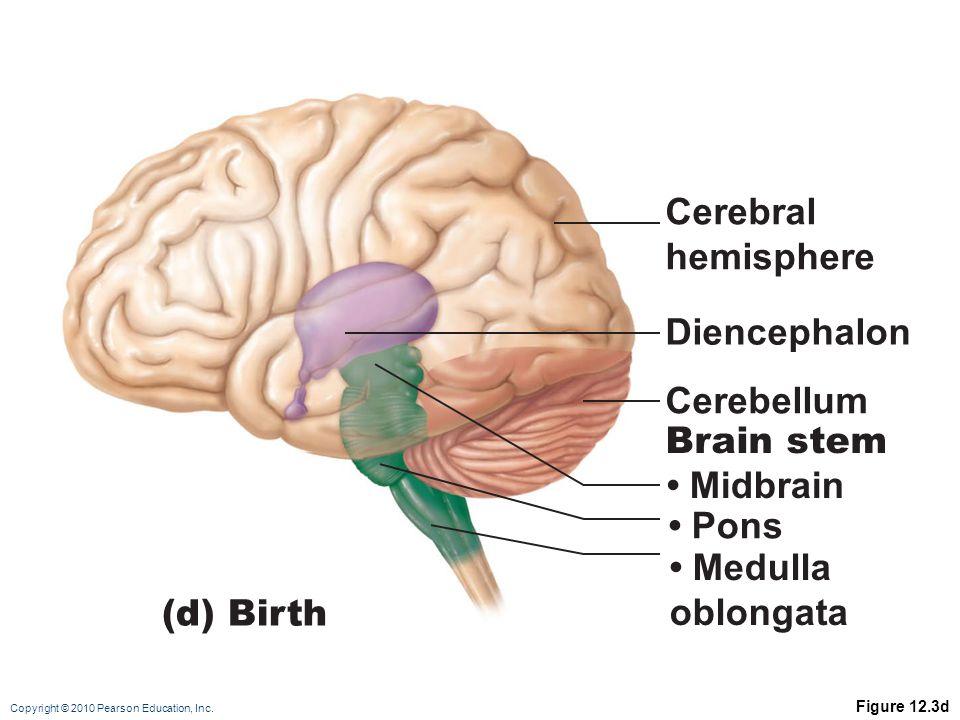 Cerebral hemisphere Diencephalon Cerebellum Brain stem • Midbrain
