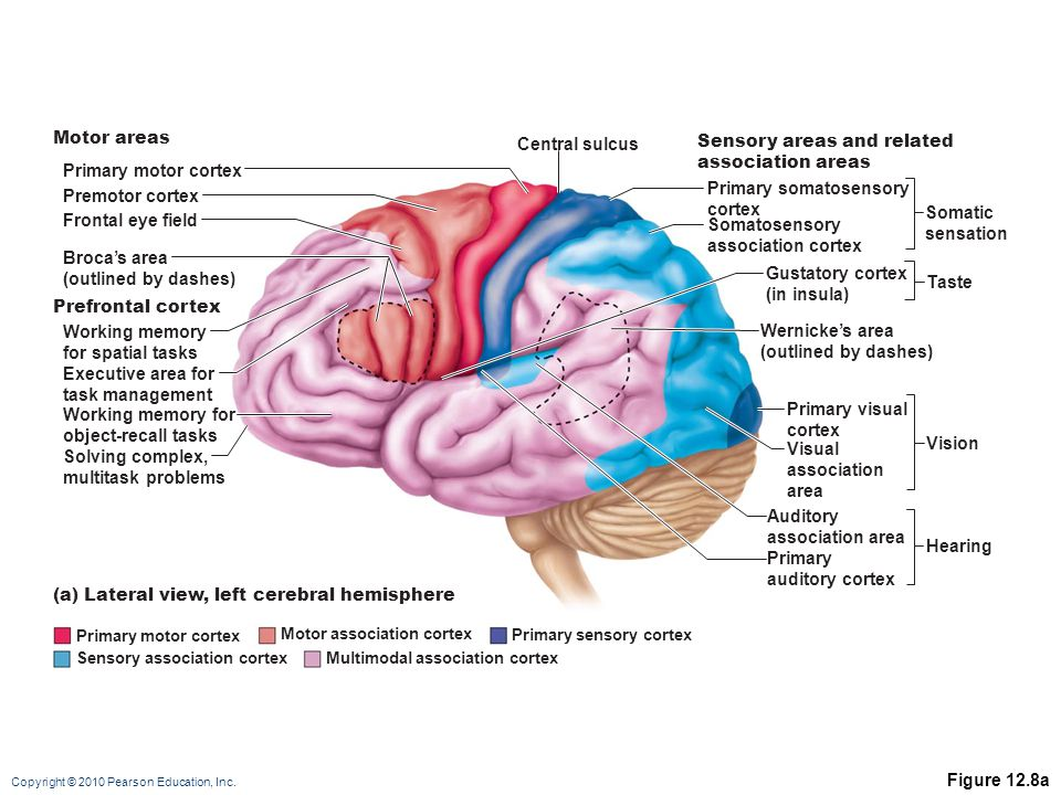 Sensory areas and related association areas Primary motor cortex