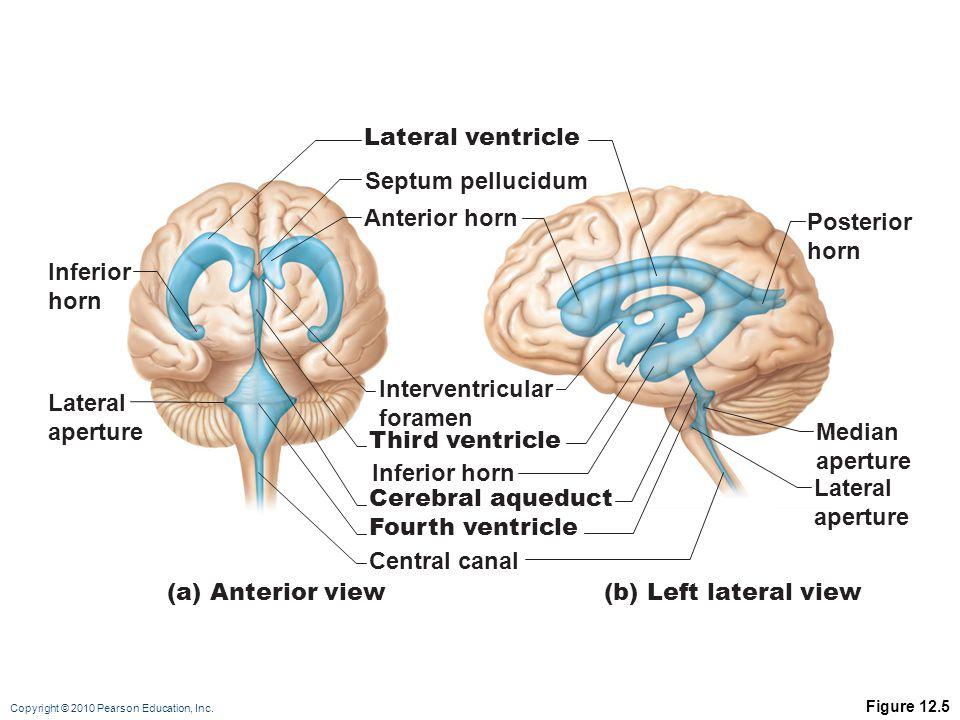 Lateral ventricle Septum pellucidum Anterior horn Posterior horn