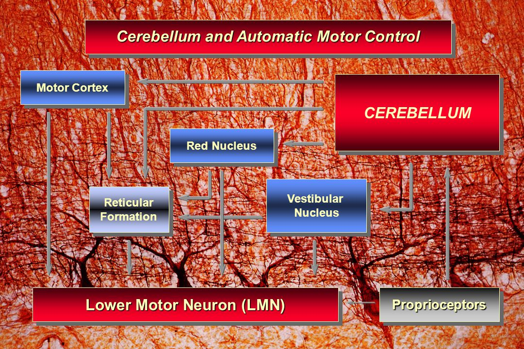 Cerebellum and Automatic Motor Control Lower Motor Neuron (LMN)