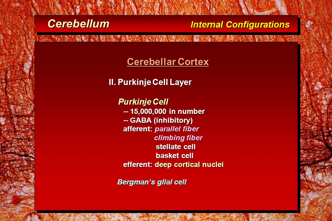 Cerebellum Internal Configurations