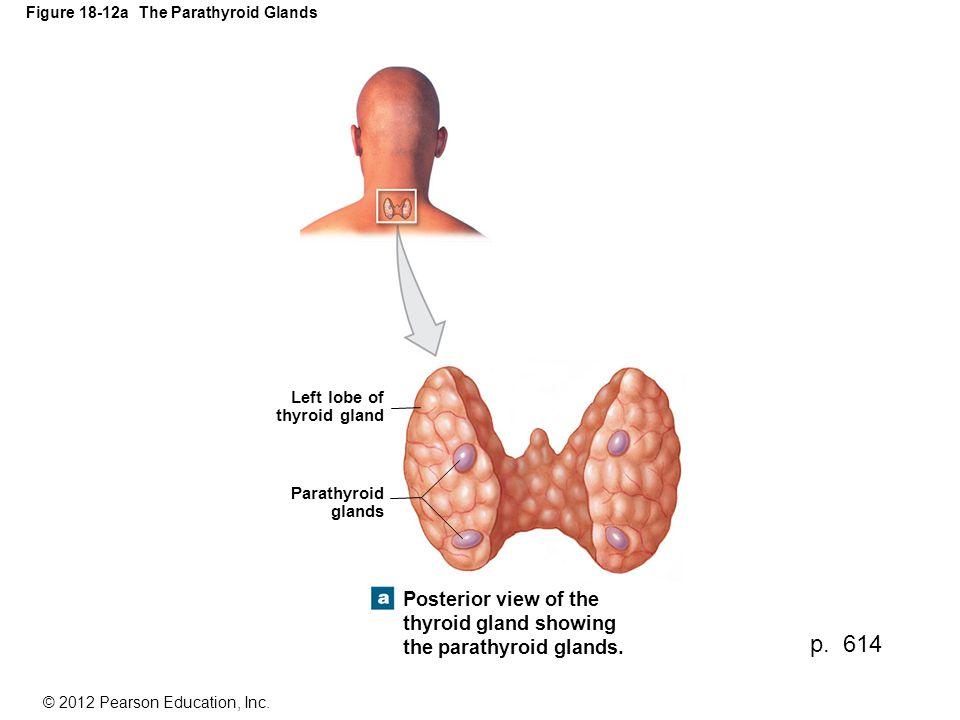 Figure 18-12a The Parathyroid Glands