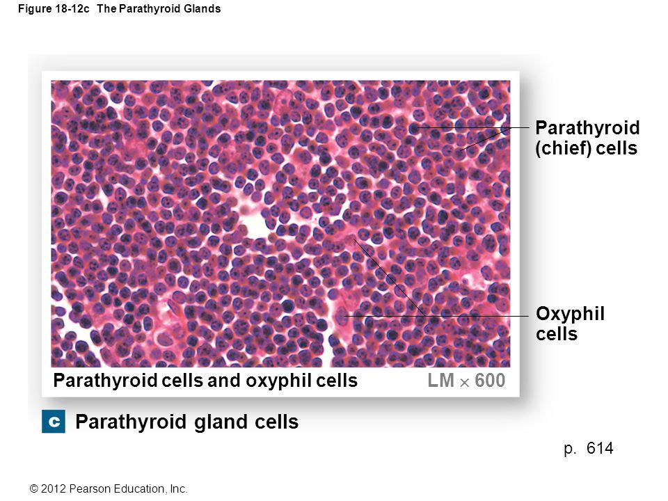 Figure 18-12c The Parathyroid Glands