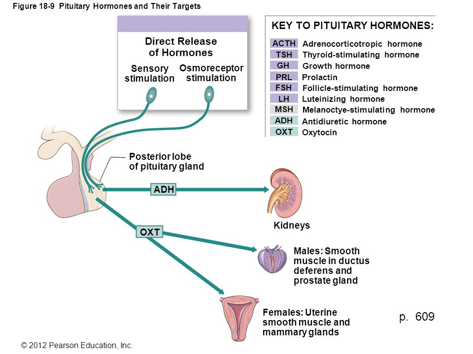 Figure 18-9 Pituitary Hormones and Their Targets