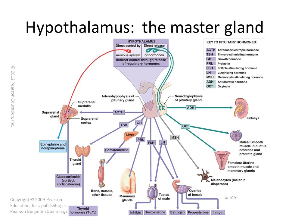 hypothalamus: the master gland - ppt download, Human Body