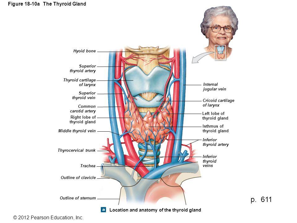 Figure 18-10a The Thyroid Gland