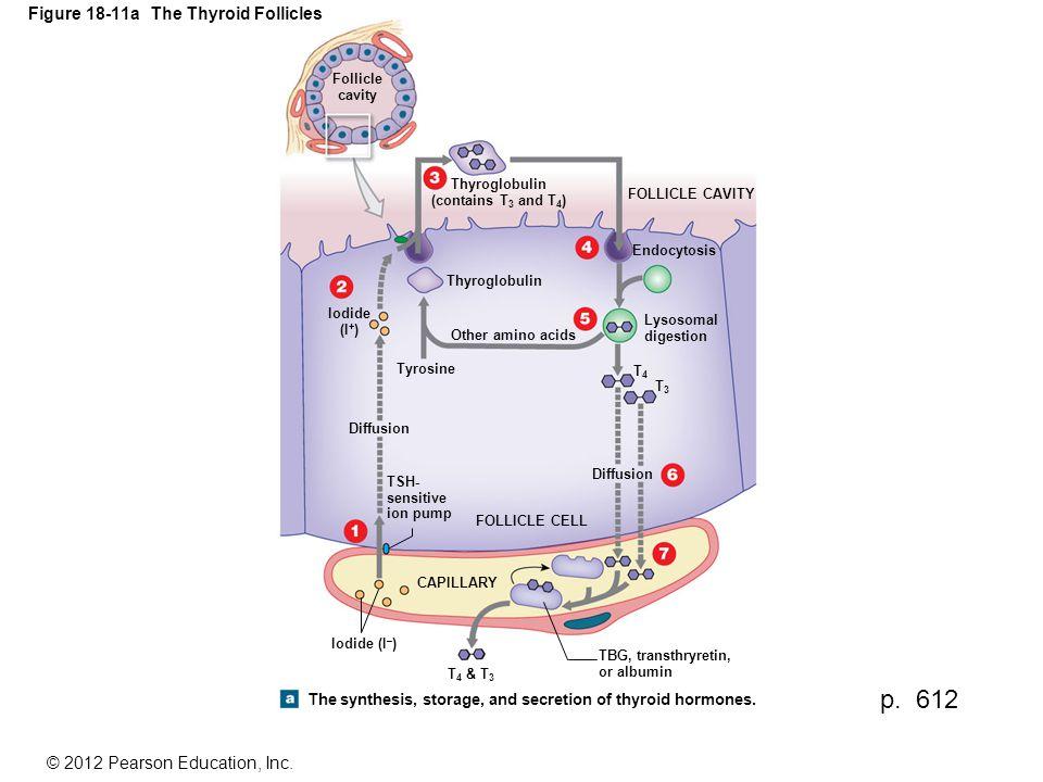 Figure 18-11a The Thyroid Follicles