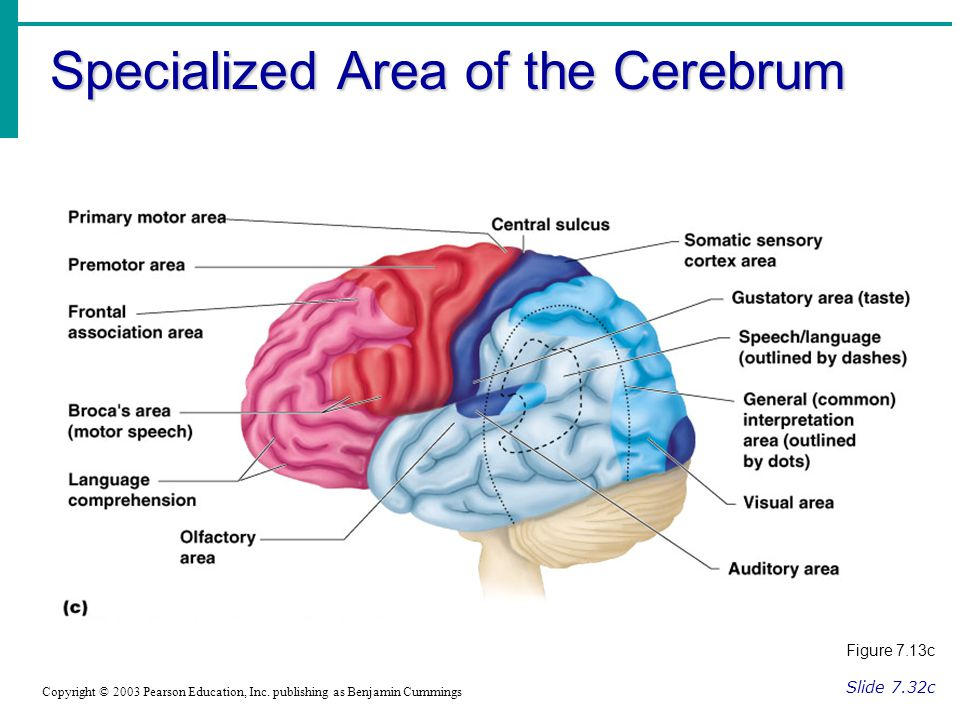 Specialized Area of the Cerebrum