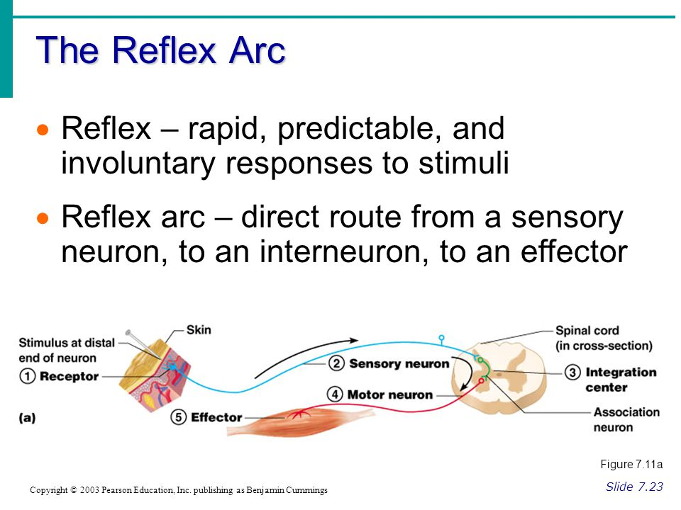 The Reflex Arc Reflex – rapid, predictable, and involuntary responses to stimuli.