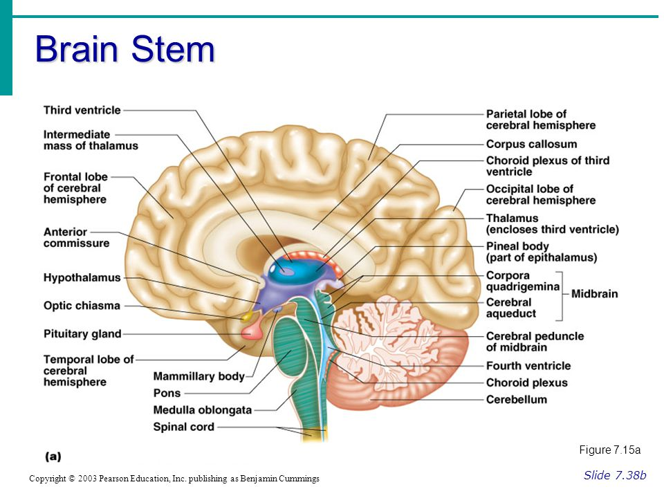 Brain Stem Figure 7.15a Slide 7.38b