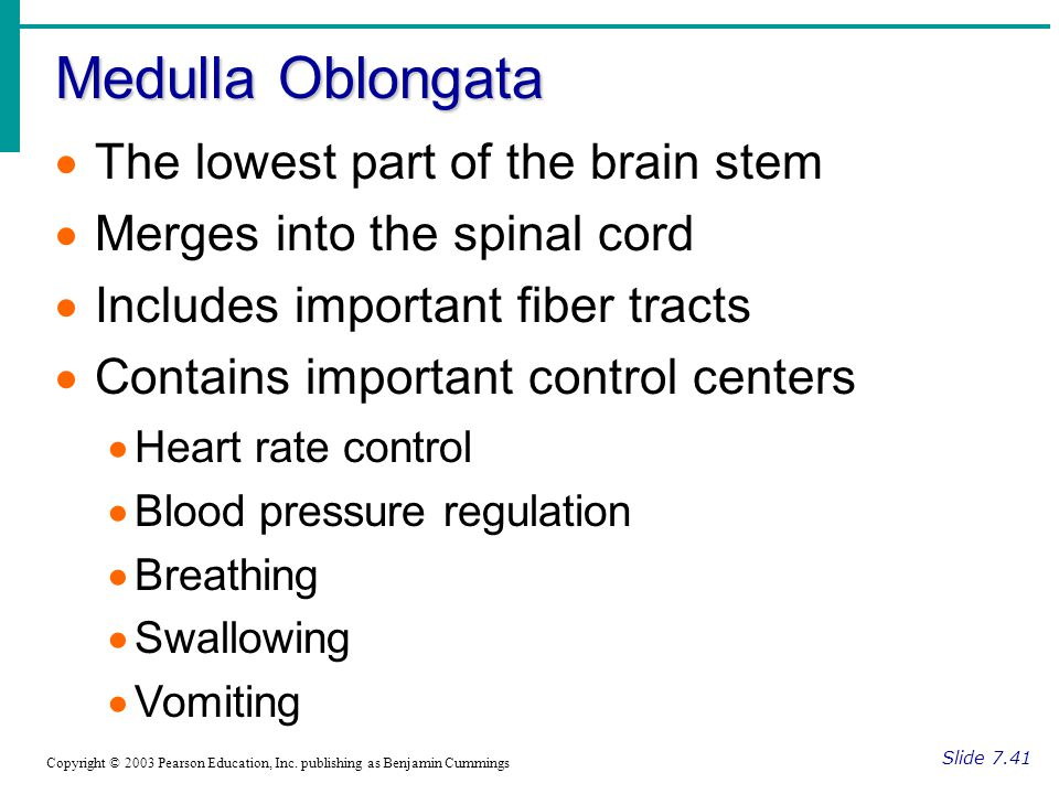 Medulla Oblongata The lowest part of the brain stem