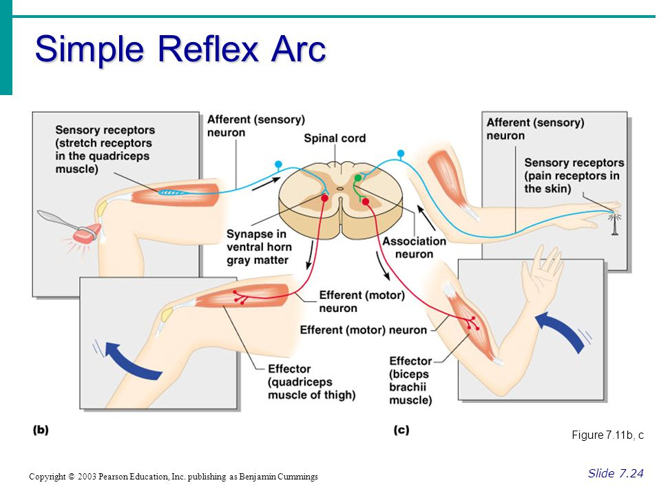 Simple Reflex Arc Figure 7.11b, c Slide 7.24