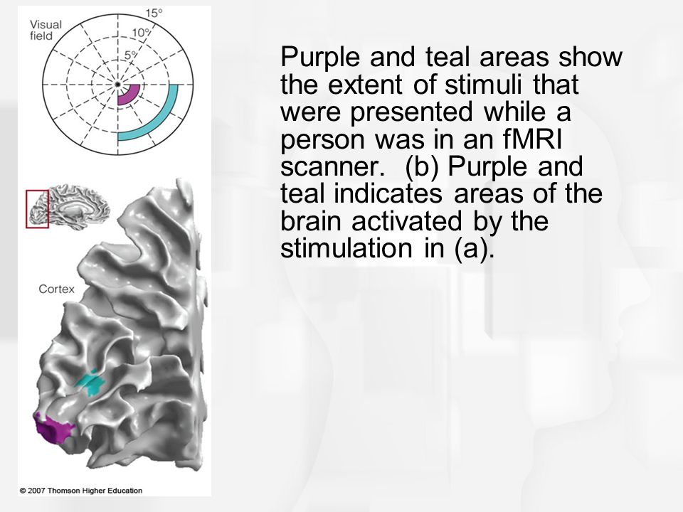 Purple and teal areas show the extent of stimuli that were presented while a person was in an fMRI scanner.