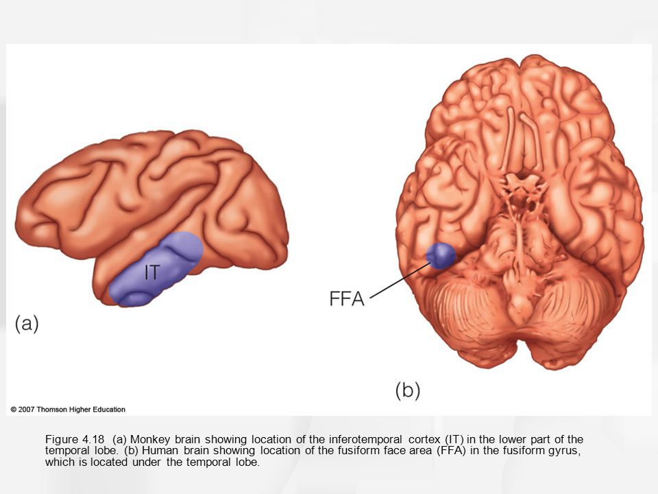 Figure 4.18 (a) Monkey brain showing location of the inferotemporal cortex (IT) in the lower part of the temporal lobe.