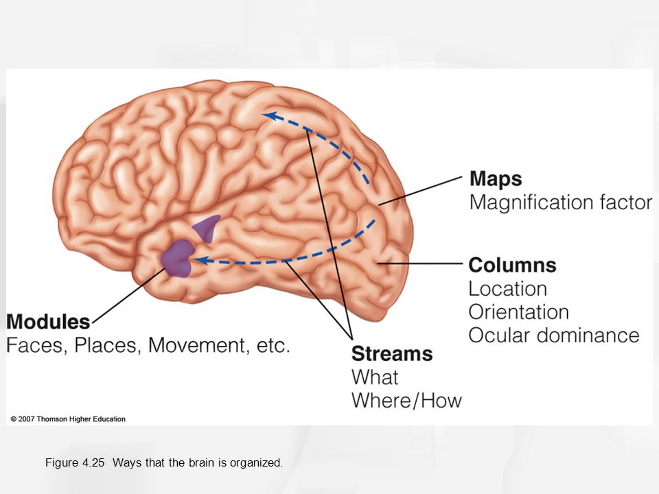 Figure 4.25 Ways that the brain is organized.