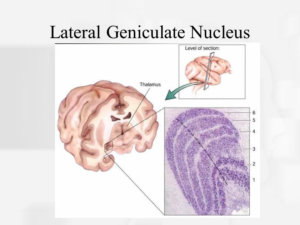 Lateral Geniculate Nucleus