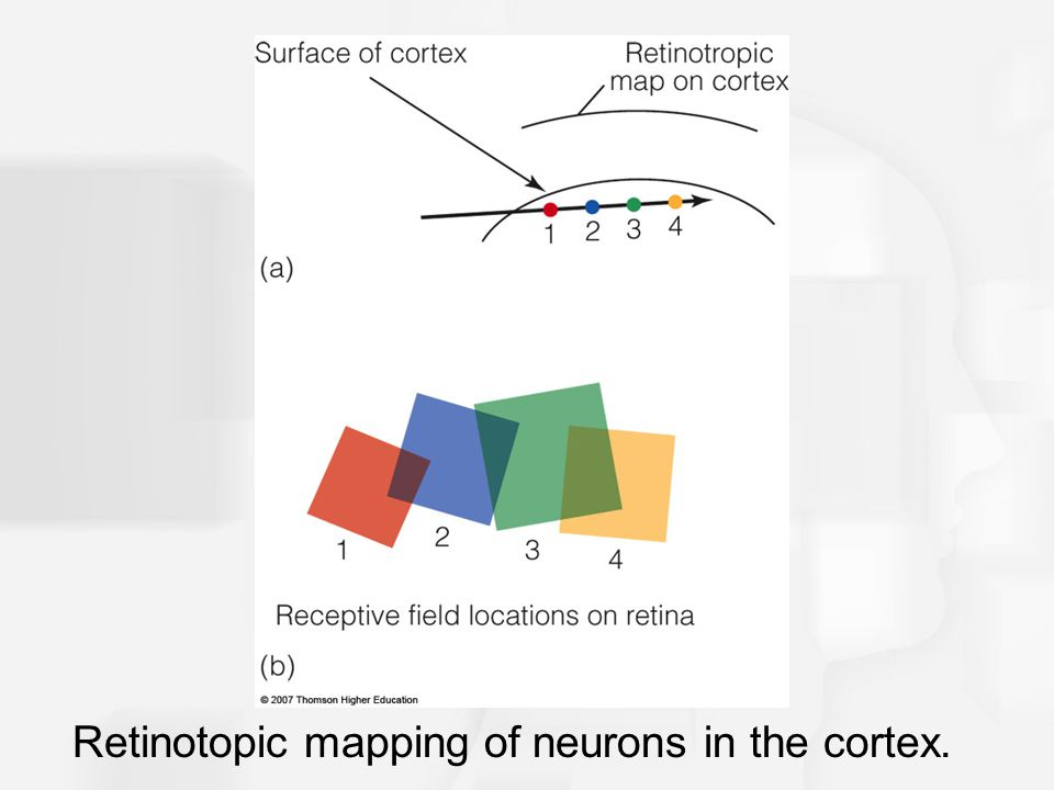 Retinotopic mapping of neurons in the cortex.