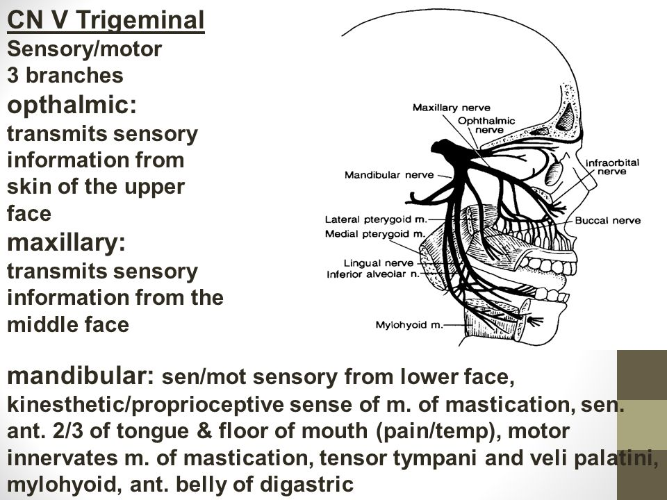 CN V Trigeminal Sensory/motor 3 branches opthalmic: transmits sensory information from skin of the upper face maxillary: transmits sensory information from the middle face