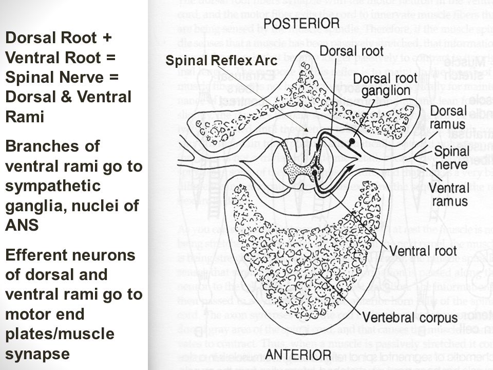 Dorsal Root + Ventral Root = Spinal Nerve = Dorsal & Ventral Rami