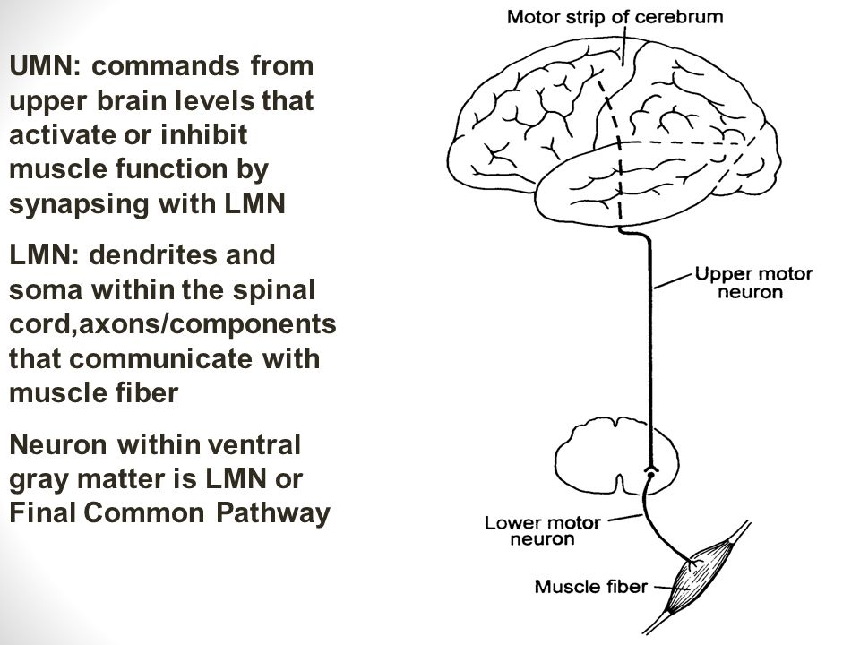 UMN: commands from upper brain levels that activate or inhibit muscle function by synapsing with LMN