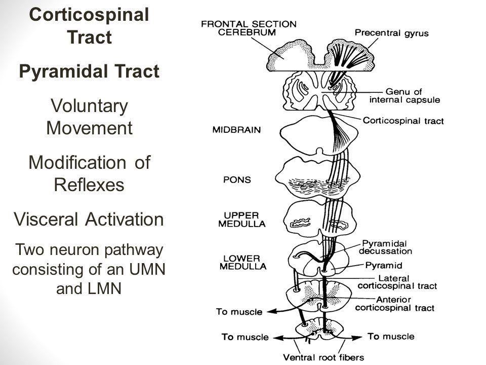 Corticospinal Tract Pyramidal Tract