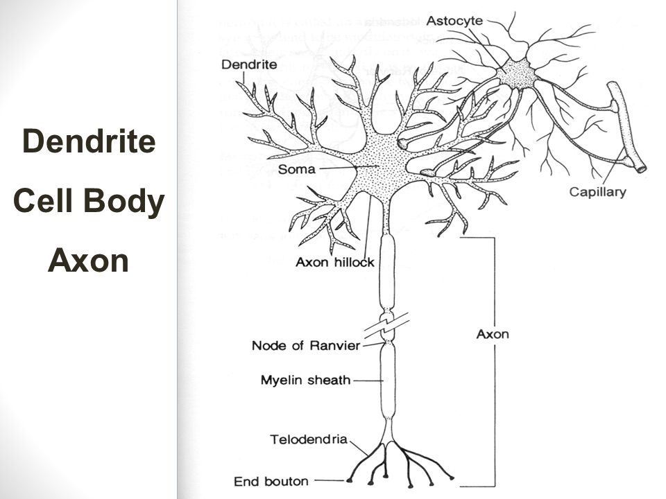 Dendrite Cell Body Axon