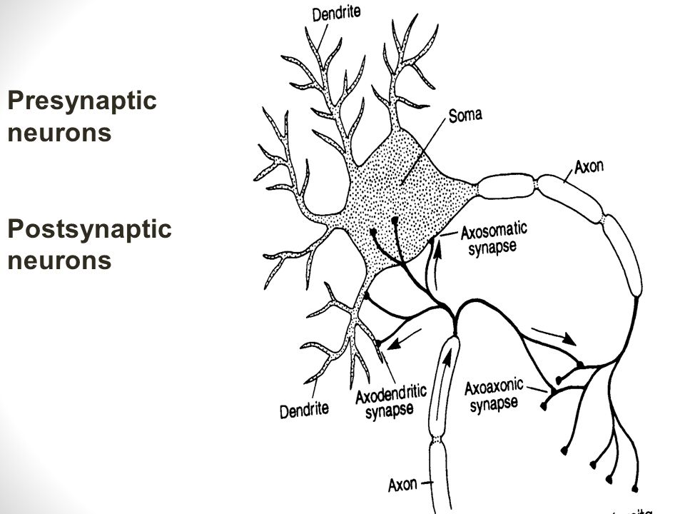Presynaptic neurons Postsynaptic neurons