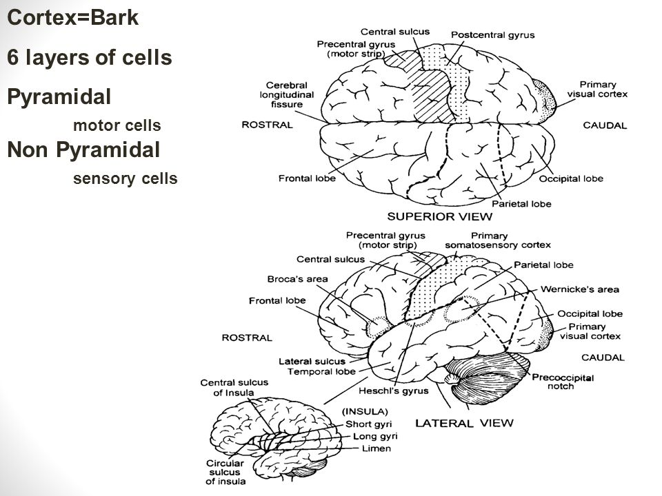 Cortex=Bark 6 layers of cells Pyramidal motor cells Non Pyramidal sensory cells