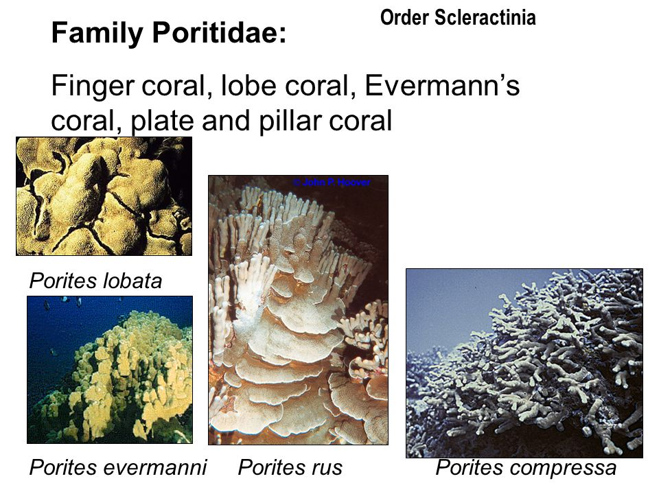 Finger coral, lobe coral, Evermann's coral, plate and pillar coral