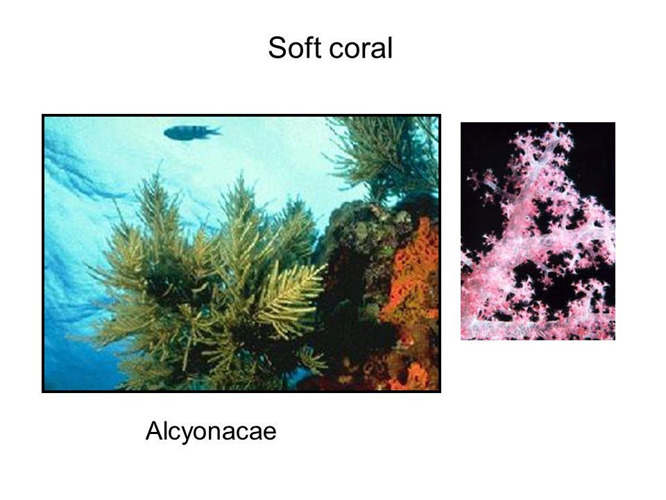 Soft coral Alcyonacae