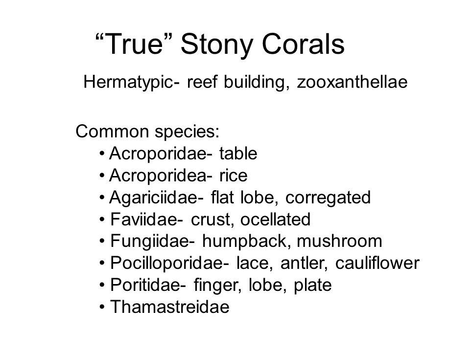 True Stony Corals Hermatypic- reef building, zooxanthellae