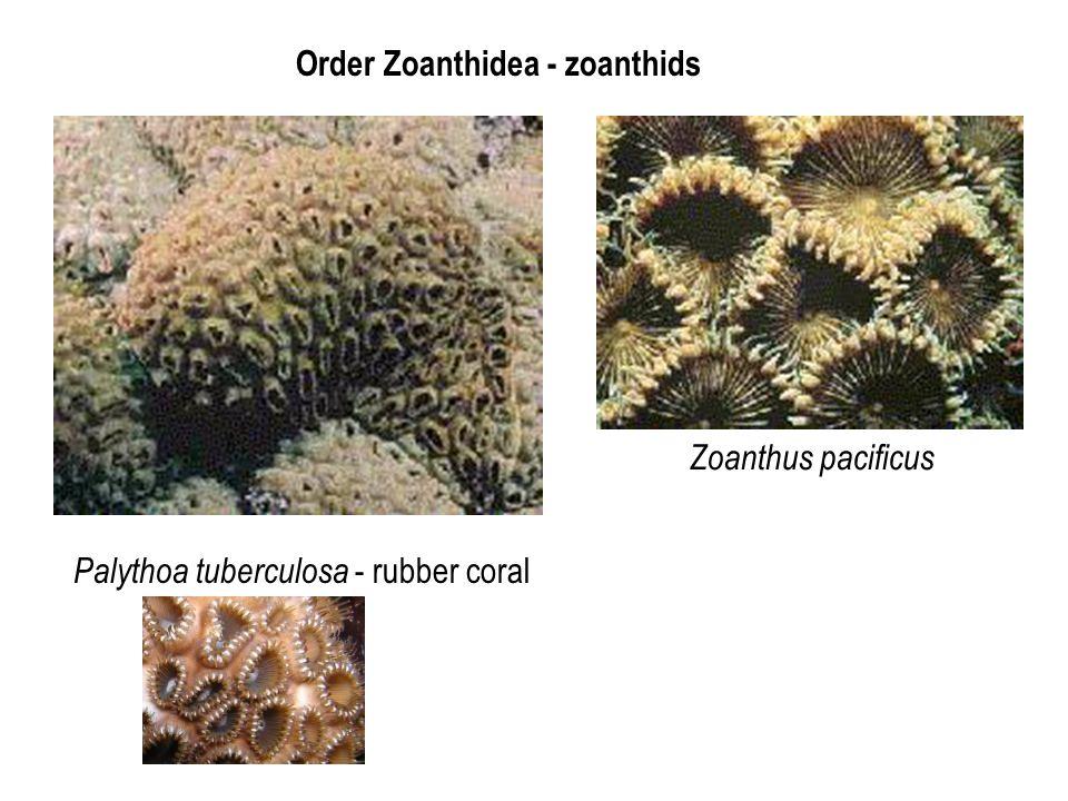 Order Zoanthidea - zoanthids