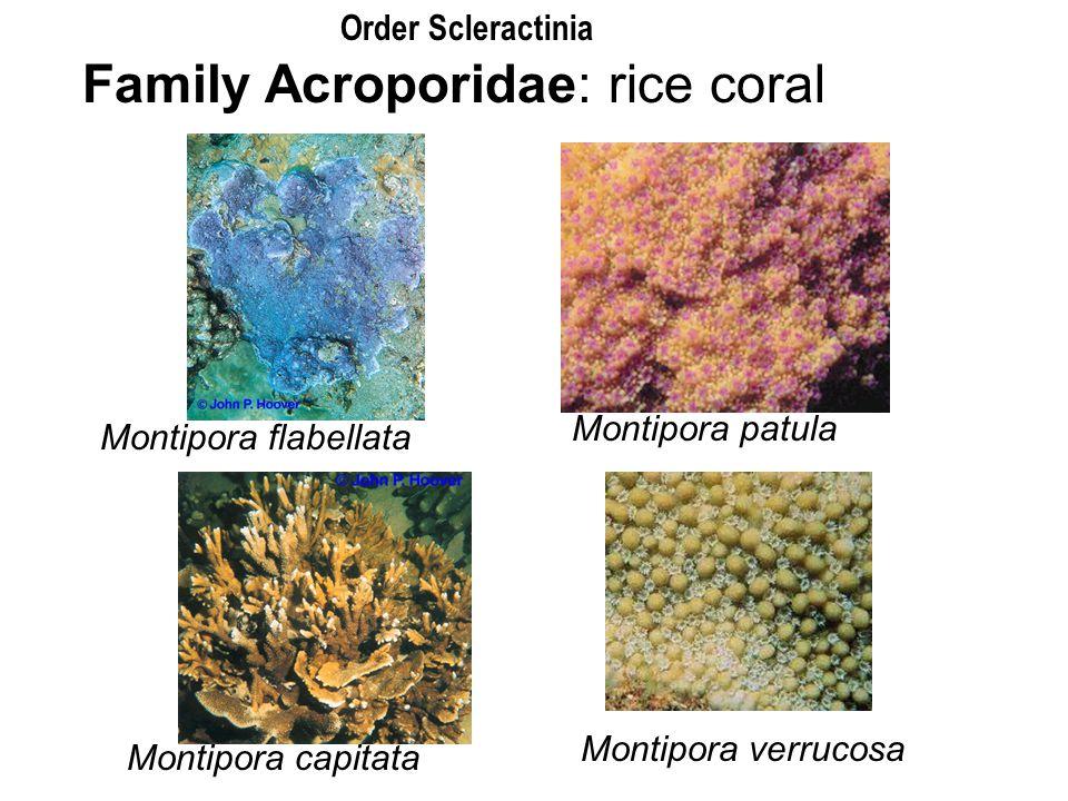 Family Acroporidae: rice coral
