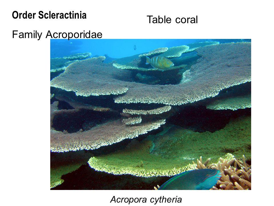 Order Scleractinia Family Acroporidae Table coral Acropora cytheria