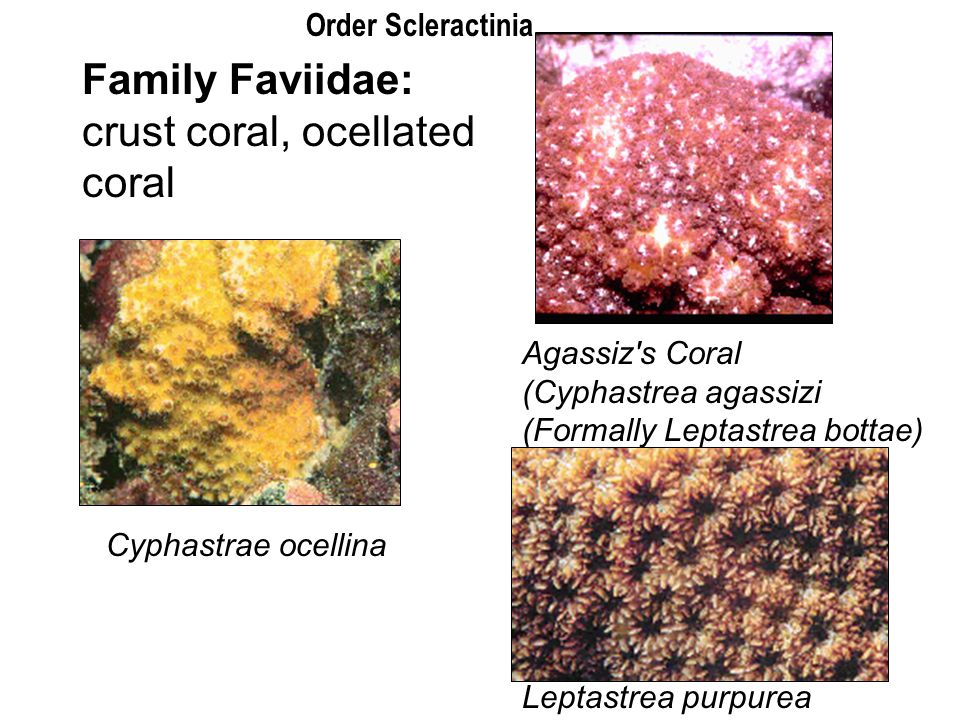 crust coral, ocellated coral